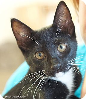 Domestic Shorthair Kitten for adoption in Knoxville, Tennessee - Riley