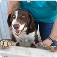 Border Collie/Labrador Retriever Mix Dog for adoption in Cat Spring, Texas - Ace