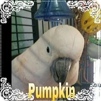Cockatoo for adoption in Red Oak, Texas - Pumpkin