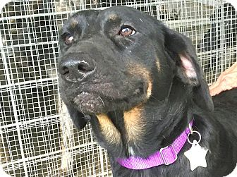 Rottweiler/Hound (Unknown Type) Mix Dog for adoption in Wharton, Texas - Cookie
