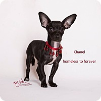 Chihuahua Mix Dog for adoption in Sherman Oaks, California - Chanel