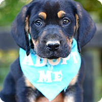 Bloodhound/Black and Tan Coonhound Mix Puppy for adoption in West Grove, Pennsylvania - Jesse