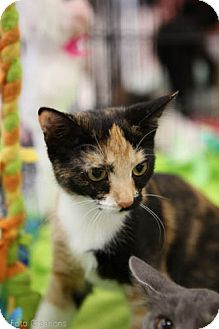 Domestic Shorthair Cat for adoption in Olive Branch, Mississippi - Paisley