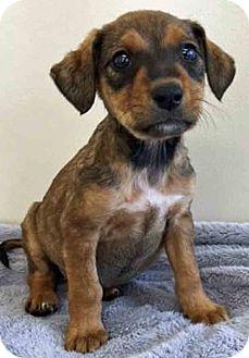 Labrador Retriever Mix Puppy for adoption in Gahanna, Ohio - ADOPTED!!!   Fern