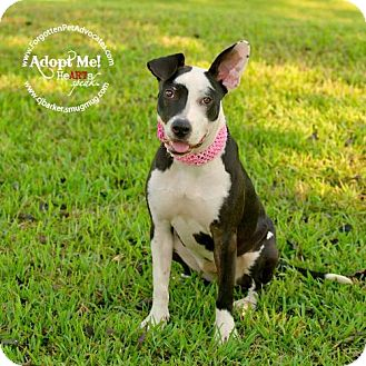 Pit Bull Terrier/Border Collie Mix Dog for adoption in Houston, Texas - Sugar