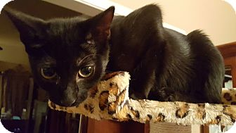 Domestic Shorthair Kitten for adoption in Clarksville, Tennessee - Cookie