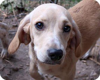 Beagle/Dachshund Mix Dog for adoption in Allentown, Pennsylvania - Dazzle