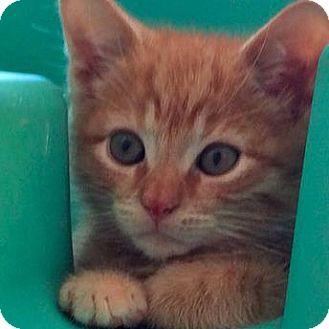 Domestic Shorthair Kitten for adoption in New York, New York - Caleb