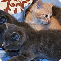 Domestic Shorthair Kitten for adoption in Brooklyn, New York - The Fantastic Five! Kittens of Distinction