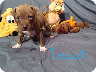 Pit Bull Terrier Mix Puppy for adoption in Newport, Kentucky - Toast