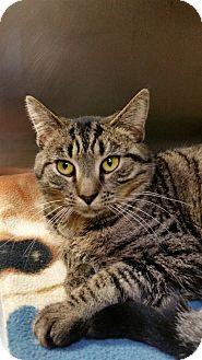 Domestic Shorthair Cat for adoption in Chambersburg, Pennsylvania - Ivy