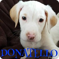 Adopt A Pet :: DONATELLO - Pomfret, CT