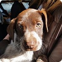 Adopt A Pet :: Ruger - Ogden, UT