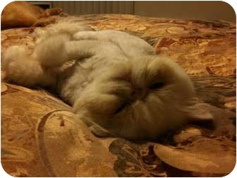 Persian Cat for adoption in Beverly Hills, California - Sammy