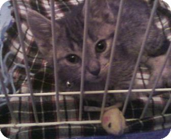 Domestic Shorthair Cat for adoption in Island Park, New York - Daphne - Sister of Dooley