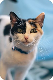 Domestic Shorthair Cat for adoption in Troy, Michigan - Dorothy