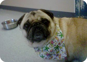 Pug Dog for adoption in Miami, Florida - Spike / Scooter