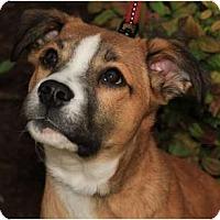 Adopt A Pet :: Chops - Rowlett, TX