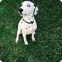 Adopt A Pet :: Bleu - Tampa, FL