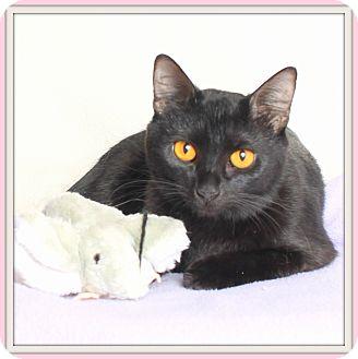 Bombay Cat for adoption in Glendale, Arizona - Cairo