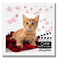 Adopt A Pet :: Clove - Palm Desert, CA