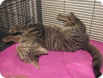 Domestic Shorthair Kitten for adoption in Plattekill, New York - Milo
