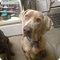 Adopt A Pet :: COSMO - Corte Madera, CA