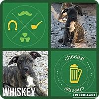 Adopt A Pet :: whiskey - Groveland, FL