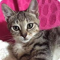 Adopt A Pet :: Sully - Hallandale, FL