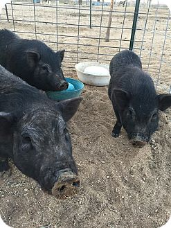 Pig (Potbellied) for adoption in Oak Glen, California - 7 Piggies