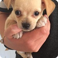 Adopt A Pet :: SUNSHINE BOYS B - Corona, CA