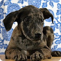 Adopt A Pet :: Tequila - Starkville, MS