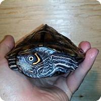 Adopt A Pet :: Bowzer - Markham, ON