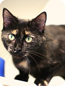 Domestic Shorthair Cat for adoption in Staunton, Virginia - Nita