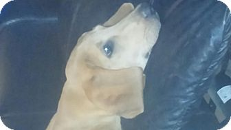 Labrador Retriever Mix Puppy for adoption in Brattleboro, Vermont - Copper