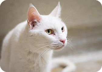 Domestic Shorthair Cat for adoption in Palm Springs, California - Rembrandt