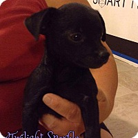 Chihuahua Mix Puppy for adoption in Rosamond, California - Twilight Sparkle