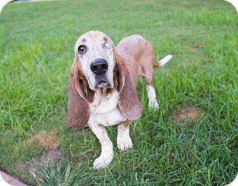Basset Hound Dog for adoption in Folsom, Louisiana - Grady