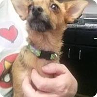 Adopt A Pet :: Scruffy - New York, NY