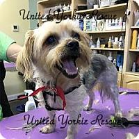 Yorkie, Yorkshire Terrier Dog for adoption in Martinsburg, West Virginia - Duelie