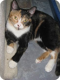Domestic Shorthair Cat for adoption in Sherman Oaks, California - Annie