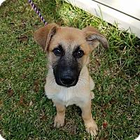 Adopt A Pet :: Bourbon - Plano, TX