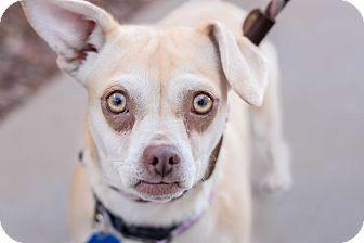 Pug/Dachshund Mix Dog for adoption in Gilbert, Arizona - honeycomb