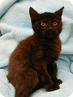 Domestic Shorthair Kitten for adoption in Reston, Virginia - Ashley