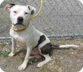 American Pit Bull Terrier Mix Dog for adoption in Gary, Indiana - Melton