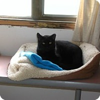 Domestic Shorthair Cat for adoption in Appleton, Wisconsin - Blackie