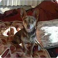 Adopt A Pet :: Chico - Thatcher, AZ