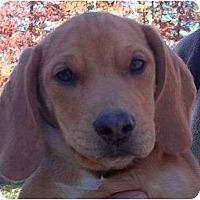 Adopt A Pet :: Winston - Allentown, PA