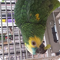 Adopt A Pet :: Gibson - Villa Park, IL