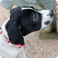 Adopt A Pet :: Paloma - Phoenix, AZ
